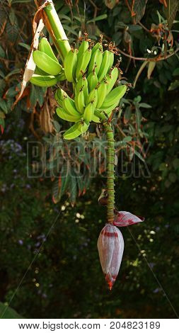 bunch of immature green bananas with a red banana flower on a banana tree