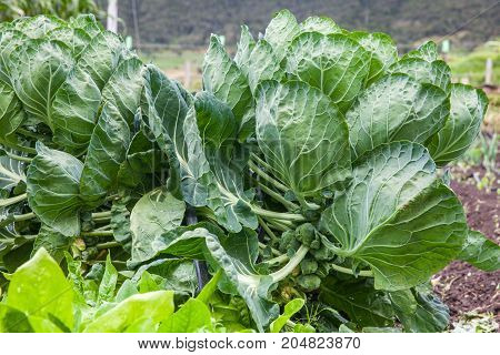 Brussels Sprouts Plant (brassica Oleracea) At Cultivation Field