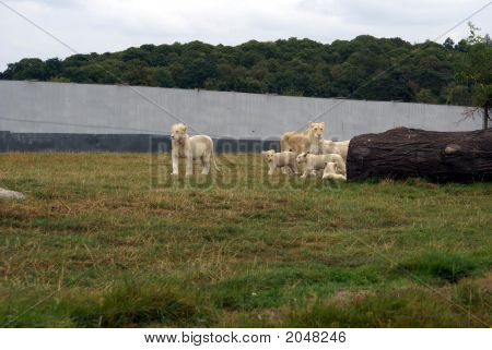 White lions in zoo. White lions in zoo. African white lions. Wild animals. Nature. Family of lions. poster