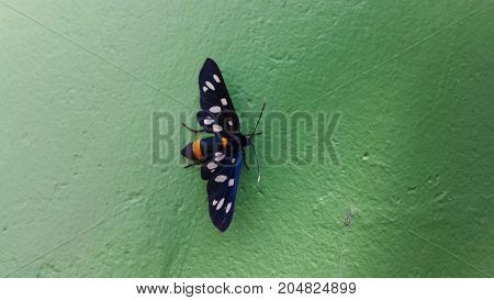 Nine-spotted moth or yellow belted burnet, Amata phegea, formerly Syntomis phegea