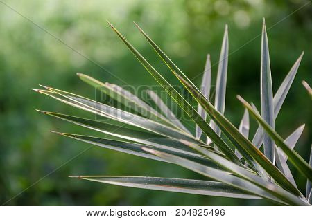 Closeup of sharp palm leaves in front of green blurry background, Morocco, North Africa.