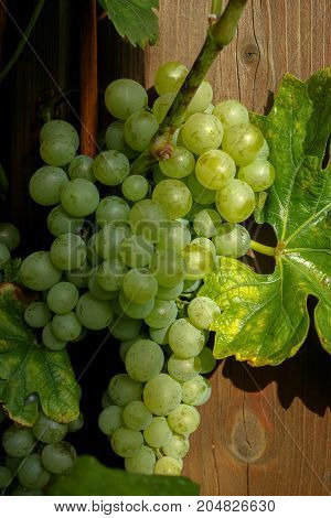 White Wine Grape Growth In Vineyard, Ready To Harvest And Wine Production