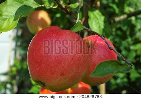 Big Red Ripe Apples On The Apple Tree, Fresh Harvest Of Red Apples, Seasonal Works In Orchard, Fruit