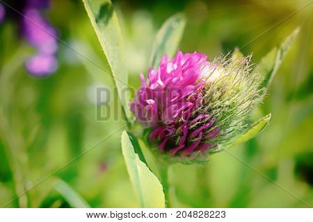 Red clover. A bright Sunny day in a green field. Summer day in the country. The sun's rays illuminated the red petals. Pink forest flower. Fodder plant for cattle.