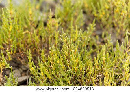Common Glasswort (salicornia Europaea)