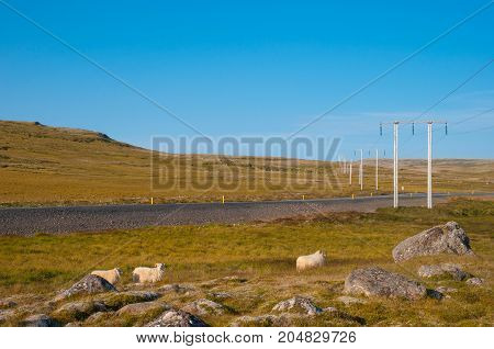Sheep With Lamb's Near Icelandic Main Road