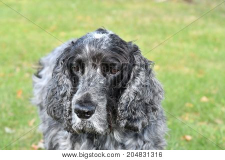 Portrait ten year old english cocker spaniel