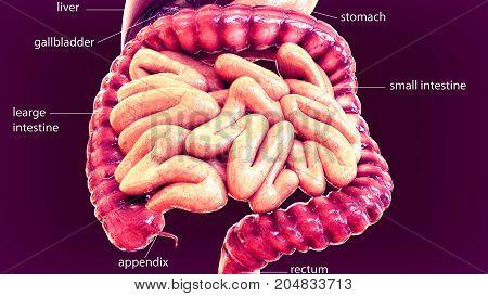 3d illustration of human body organ(digestive system)