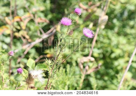 Bull Thistle with pretty purple bloom is a prickly wildflower which most people consider an annoying weed, with a Bee on bloom.