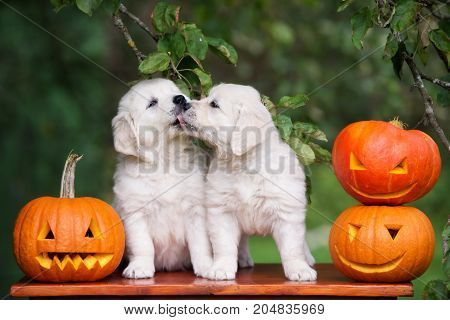 two golden retriever puppies posing with carved pumpkins
