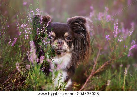 adorable chihuahua dog posing outdoors in autumn
