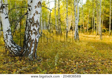 Autumn birch forest in filtering through the branches the sun