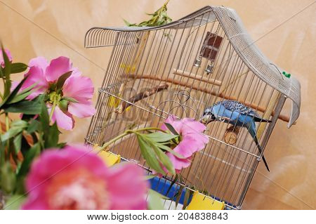 Parrot sits in cage and eats flowers peonies standing near the cage