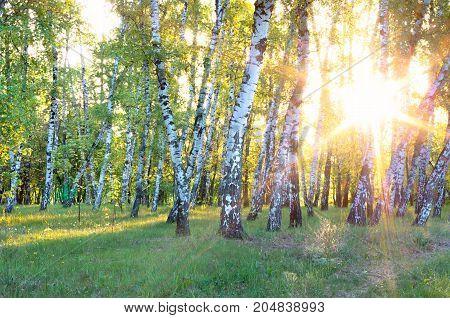 sun through the trees of a birch grove