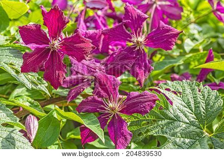 Purple clematis flowers on a blurred background of a sunny summer garden close up