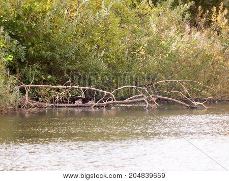 Far Off Mallard Ducks Resting On A Fallen Tree In Lake Surface Water