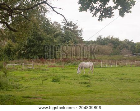 White Horse Outside Grazing In Field In Uk