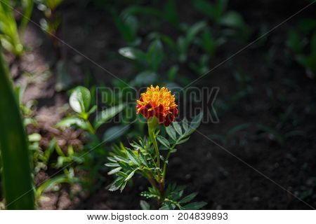blooming flower Orange Tagetes on the ground on blured background. Gardening.