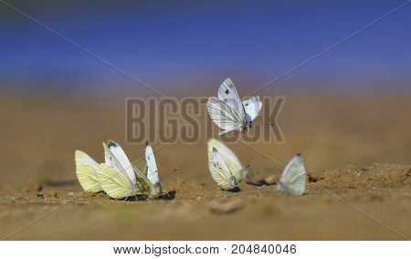 lots of white beautiful delicate butterflies landed on a sand beach