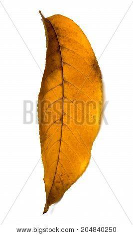 Yellow Autumn Walnut (juglans Regia) Leaf