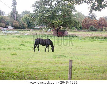 Black Horse In Field Grazing Animal Outside Farm Uk