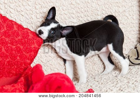 A Dog Bites Pillow