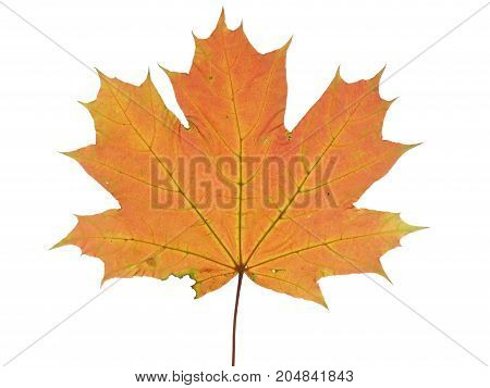 Autumnal leaf of a maple tree isolated on white background.