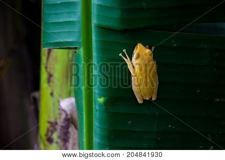 yellow frog clinging on banana leaf in garden