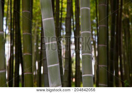 Many bamboo stalks and bamboo trees horizontal