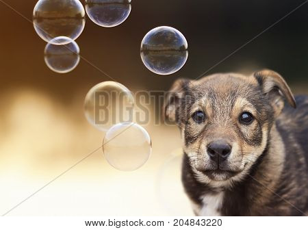 cute puppy funny looks at the background of shiny soap bubbles on a Sunny day
