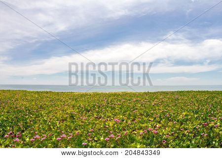 Pink morning glory flowers on the beach and sea background