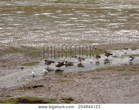 Scene Of Canadian Geese Standing Stationary In A Line In A Small Stream Of Estuary