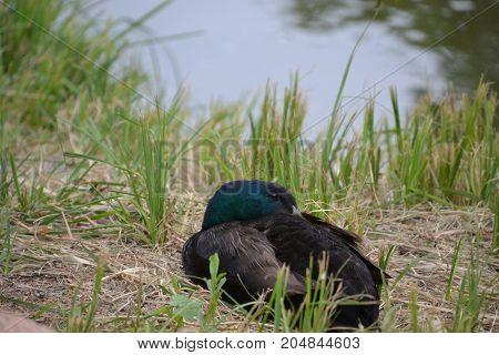 Swedish black duck seen in medicine park, oklahoma