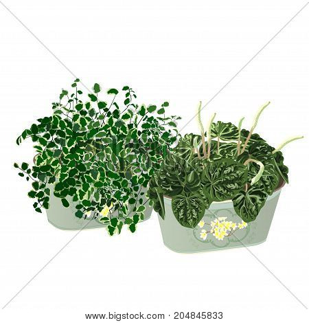 Ficus dwarfish (Ficus pumila) and a peperomia wrinkled (Peperomia caperata) a cachepot in style Provence the color vector image on a white background