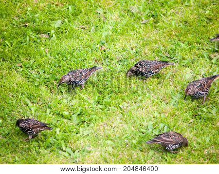 Close Up Of Starlings On The Grass Outside In Garden Eating