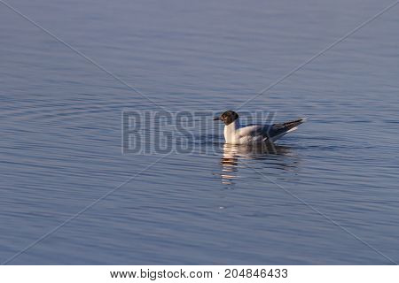Black-headed gull (Chroicocephalus ridibundus) in Danube Delta Romania