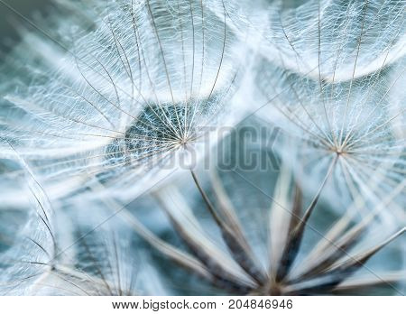 backdrop of the fluffy seeds of the dandelion flower in a delicate sky blue colours