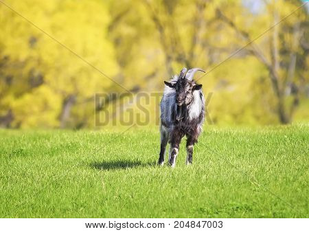 funny young goat grazing in a lush green meadow clear day