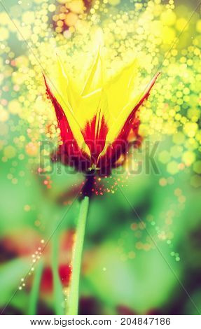 Single red-yellow tulip in the spring garden. Shimmering background. Natural theme. Beauty photo filter.