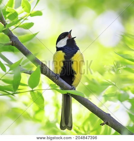 bird singing in spring forest with fresh green tree in Sunny day