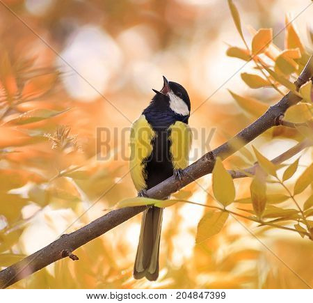 little chickadee sings a song in autumn forest in Sunny day