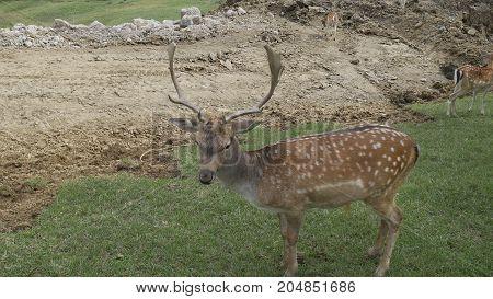 European spotted deer graze in a meadow