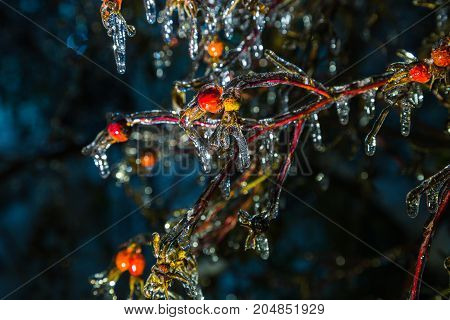 Bright rose hips covered with ice after icy rain on a dark background