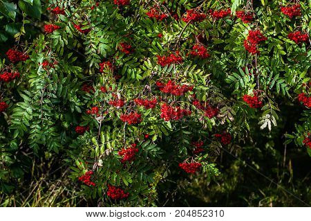 Thickets of red ash, autumn berry is ripe. Berries Rowan tree. The nature of the wild forests.