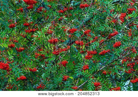 Thickets of red ash - autumn berry is ripe. Berries Rowan tree. The nature of the wild forests.
