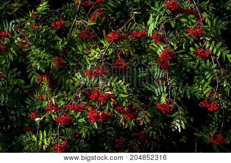 Thickets of red ash. Autumn berry is ripe. Berries Rowan tree. The nature of the wild forests.