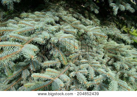 Fluffy branches of a blue spruce. Lovely delicate luxurious spruce needles. Fir tree close.