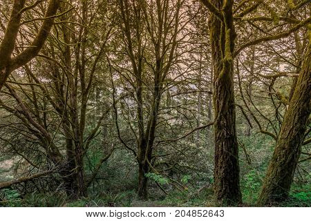Douglas Fir Forest. Purisima Creek Redwoods, Woodside, San Mateo County, California, USA.
