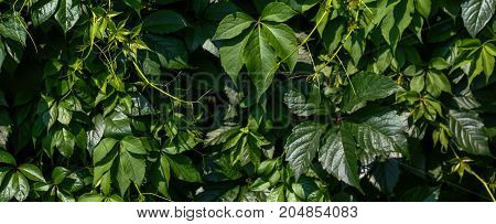 Green fresh leaves wall texture background. Closeup