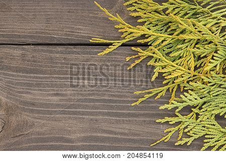 Autumn green and yellow thuja branches on rustic wooden background.